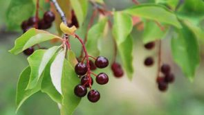 Library Closed for Chokecherry Festival